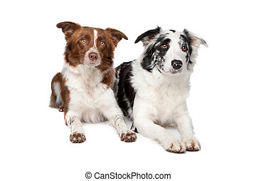 Border Collie - two Border Collie sheep dogs on a white...
