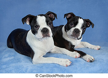 Two Boston terriers - A portrait of two female Boston...