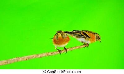 two Brambling (Fringilla montifringilla) sits on a branch...