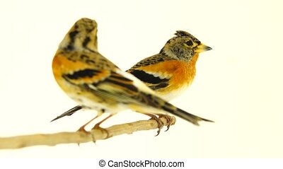 Two Brambling (Fringilla montifringilla) sits on a branch,...