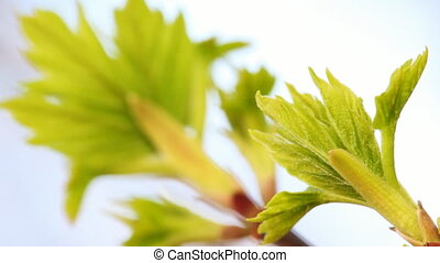 two branches with young green leaves, focusing on front of...