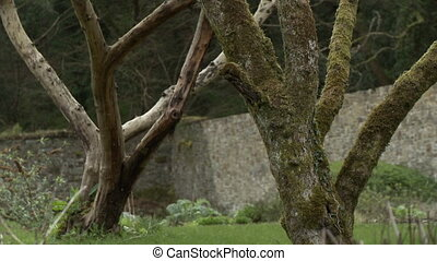 Two branchy trees in a walled in garden