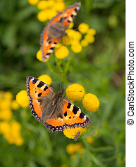 two bright butterfly on tansy flowers