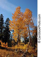 Orange Aspen Trees - Two Bright Orange Aspen Trees Against ...