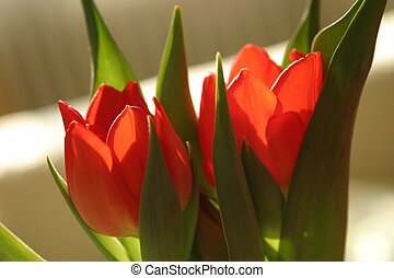 Two bright red tulips in contrejour lighting