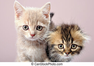 two Britain kittens - close-up portrait of two Britain breed...