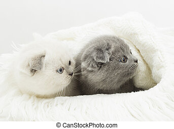 two British kitten looking to the side