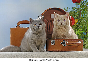 Two british shorthair cats in suitcase in studio