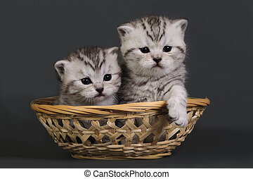 Two British Shorthair kittens. - Two British Shorthair ...