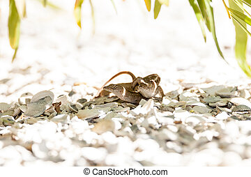 Two Brown Anole lizards Anolis sagrei mate in southeast...