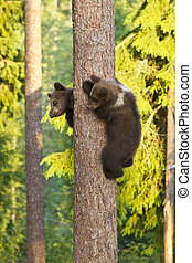 Two Brown Bear cubs (Ursus arctos) climbing a tree