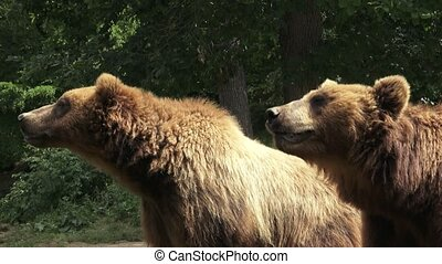 Two brown bears (Ursus arctos arctos)