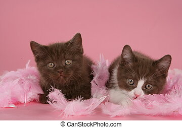 Two brown british shorthair kitten in feathers
