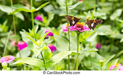 two brown butterflies face off 1