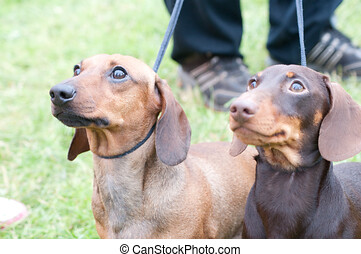 two brown dachshunds on leashes