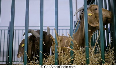 Two brown goats eating hay at agricultural animal exhibition, small cattle trade show. Farming, feeding, agriculture industry, livestock and animal husbandry concept