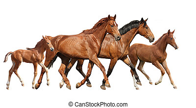 Two brown horses and two little foals family running free...