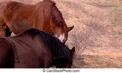 Two brown horses eating grasses