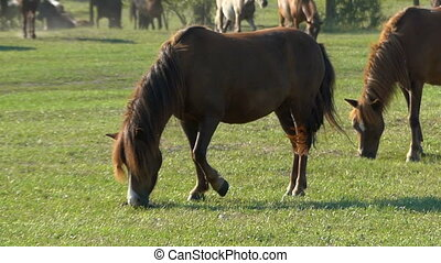 Two brown horses graze grass on a green lawn in slo-mo
