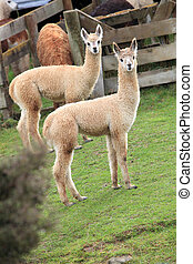 two brown lamas in farm with green grass