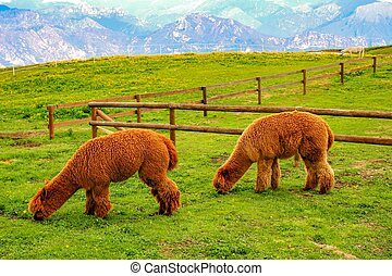 Two brown llamas eating grass on a background of mountains.