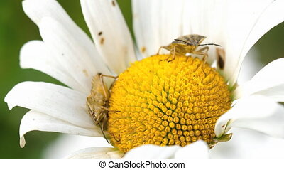 Two Brown Marmorated Stink Bug - Brown Marmorated Stink Bug...