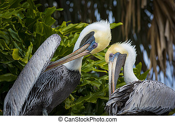 Two Brown Pelicans agains Palm Trees