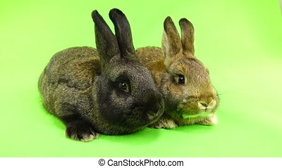 two brown rabbit isolated on green screen (three months old)...