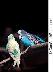 Two budgies on a branch