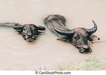 Two buffalo swimming in canal water