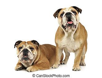 two bulldogs are  having fun in a white studio