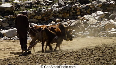 Two bulls pulling a man on a plank - A hand held, panning,...