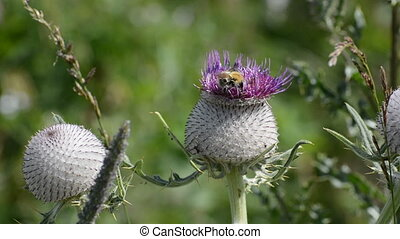 Bumble bees pollinating the large blooming thistle.