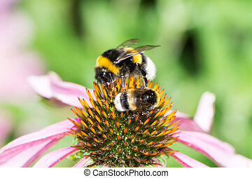 Two bumblebees on a echinacea blossom