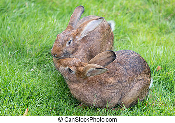 Two bunnies sitting on the grass