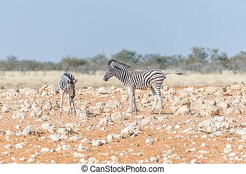 Two Burchells zebra foals, Equus quagga burchellii, in a red...