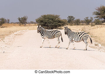Two Burchells zebras crossing a road. One zebra is pregnant
