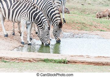 Two Burchells zebras drinking - Two Burchells zebras, Equus...