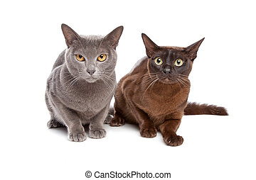 two Burmese cats in front of a white background