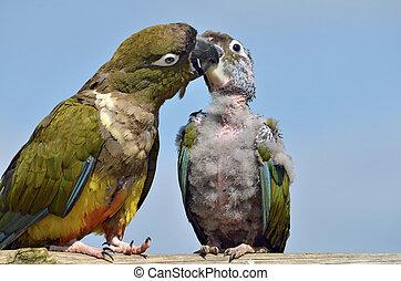 Two Burrowing Parrots