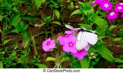 Two butterflies Black-Veined White Aporia crataeg mating on ...