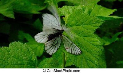 Two butterflies Black-Veined White Aporia crataegi mating on...