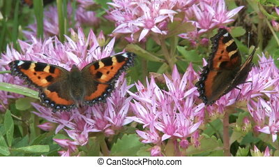 Two butterflies - Closeup of two butterflies on a pink...