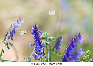 two butterflies fly on wild pea flowers in nature in a meadow, close-up, spring background
