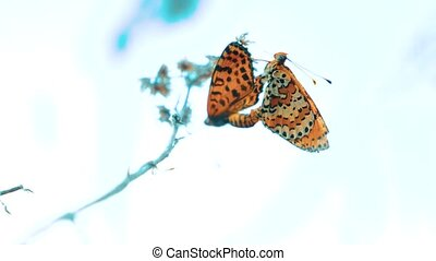 two butterflies mate. Large Tortoiseshell, Nymphalis...