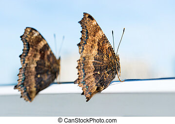 Two butterflies yellow legged tortoiseshell sits on window -...