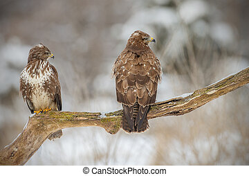 Two buzzards on an old tree
