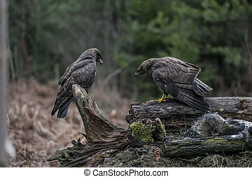 two buzzards sitting on a stump in an autumn forest