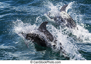 Two California common dophins play in the ocean. - Two ...