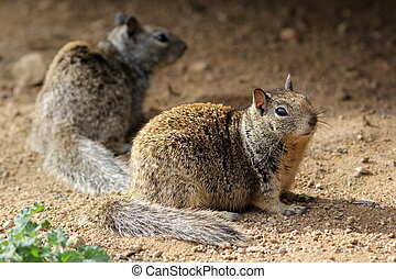 Two California Ground Squirrels